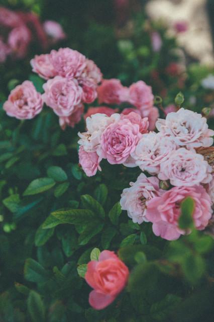 Büszkeségem: a tearózsa. május óta ontja a virágokat!