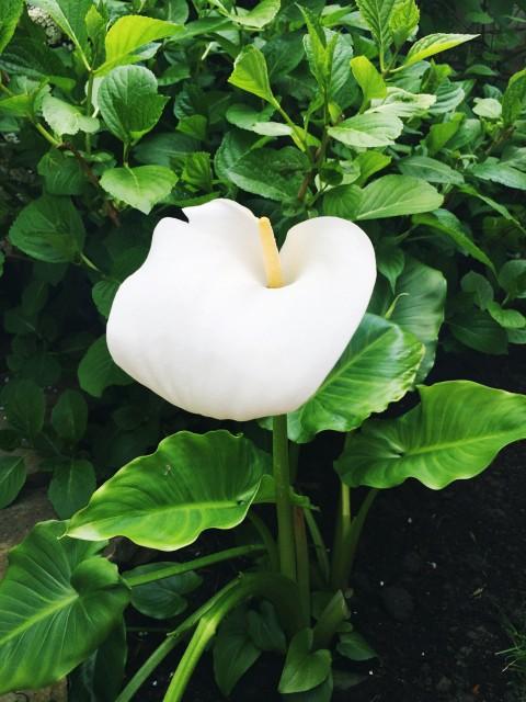 A kála már virágzik, ez az első virág idén.