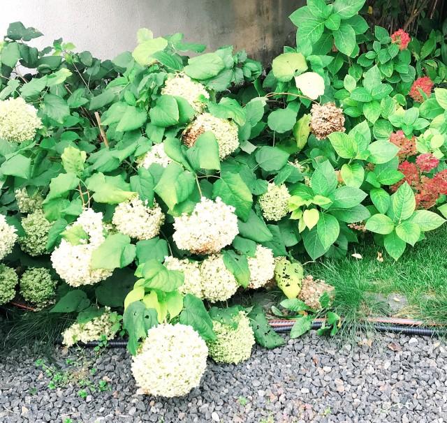 A hortenziáknak nyáron kell a napi kétszeri dripcsöves öntözés. Meg is hálálják, emberfej nagyságú virágokkal.